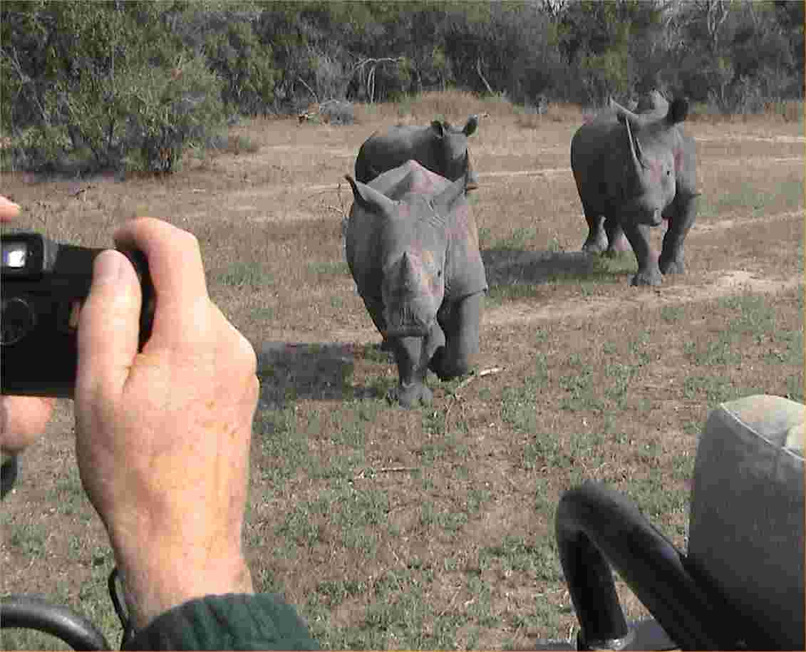 Rhinos come a running to pose for JJ.