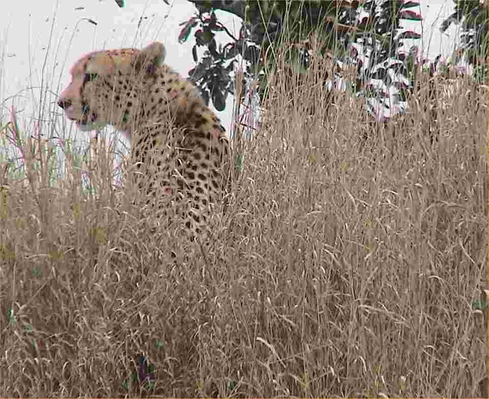 A cheetah looks for breakfast.