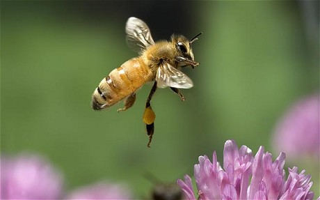 Source: http://www.telegraph.co.uk/finance/comment/ambroseevans_pritchard/8306970/Einstein-was-right-honey-bee-collapse-threatens-global-food-security.html
