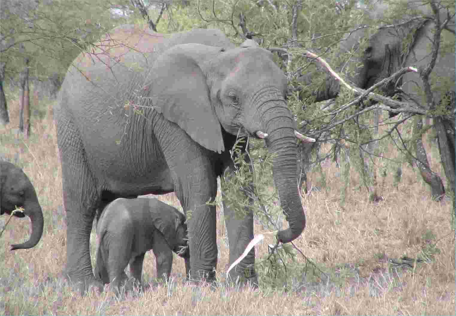 A very young elephant sticks close to other family members.  Photo by FG, Dec. 2005.