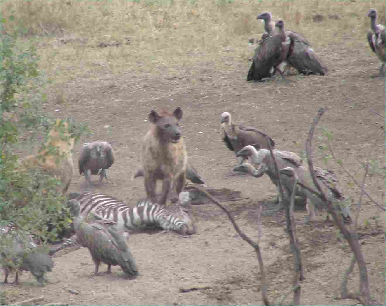 The hyenas eat first, then the vultures.  Photo by FG, Dec. 2005.