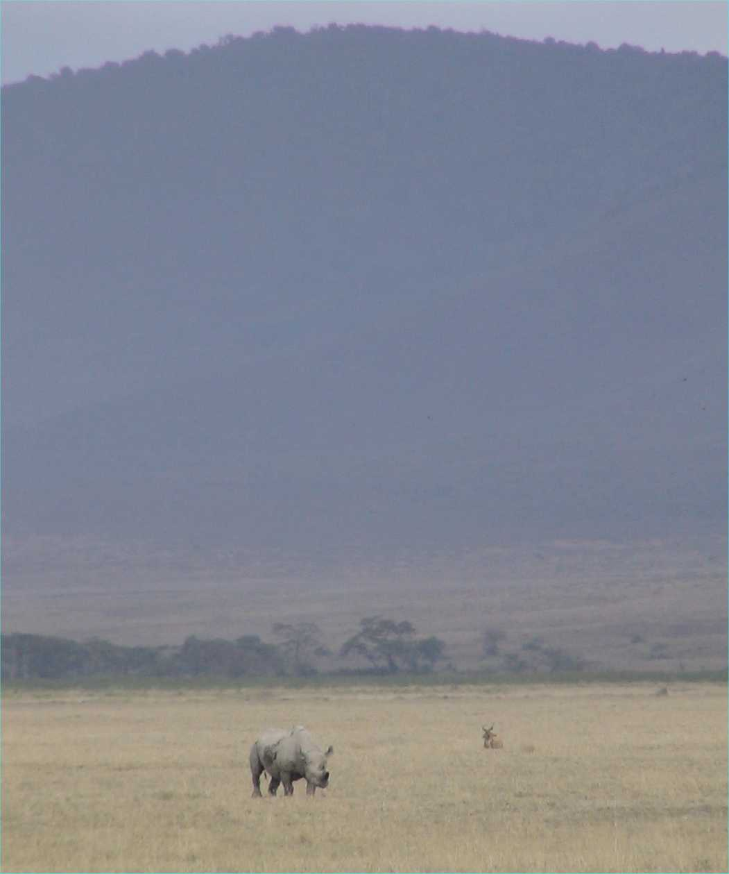 Black rhino.  Note the rim of the crater in the background.  Photo by FG, Dec. 2005.