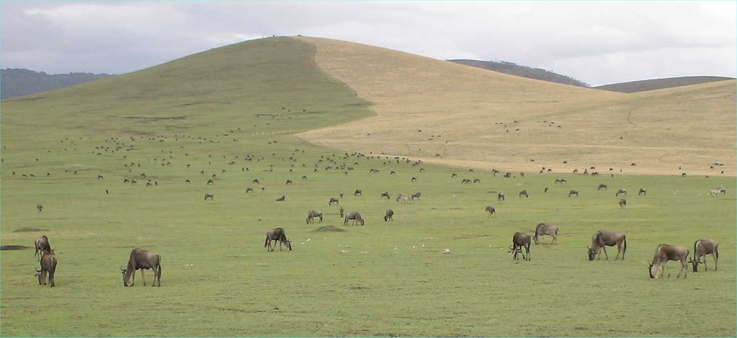 Wildebeeste graze at the edge of the crater floor.  The green grass has sprung back to life after the area was burned.  Photo by FG, Dec. 2005.