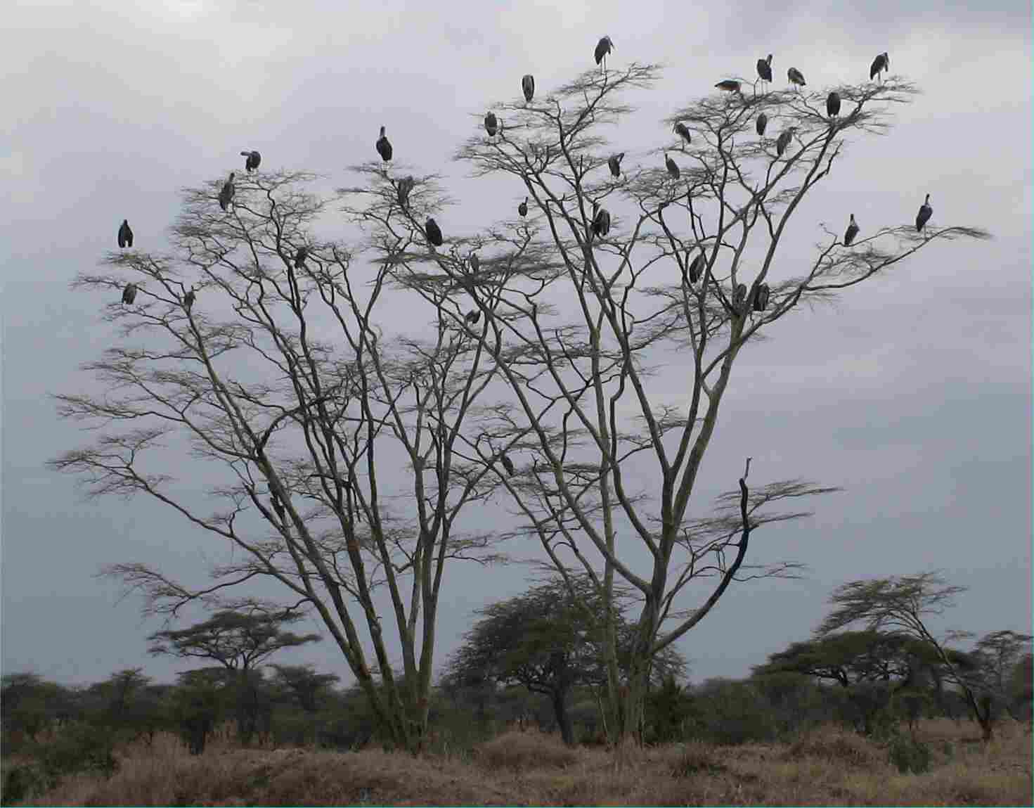 I think these are Marabou Storks sitting in the trees waiting for a turn at a nearby kill.  Photo by FG, Dec. 2005.