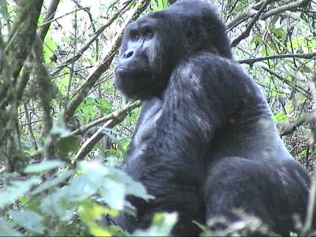 Being able to 'conquer' the Impenetrable Forest and see some gorillas is unquestionably the highlight of the trip.  Photo by FG.